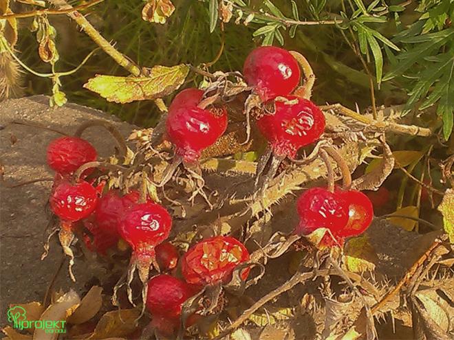owoce róży pomarszczonej