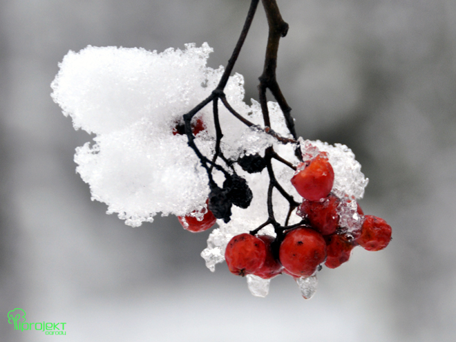 gałazka jarzębiny w zimowej szacie