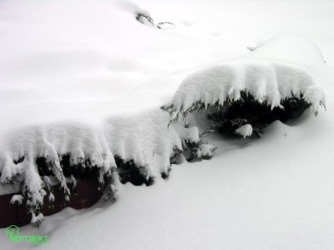 iglaki okryte śniegiem