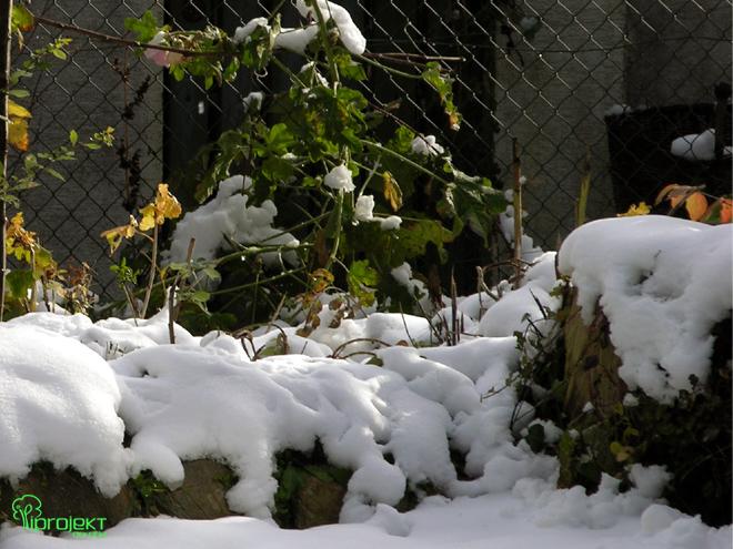śniegowa kołderka na skalniaku