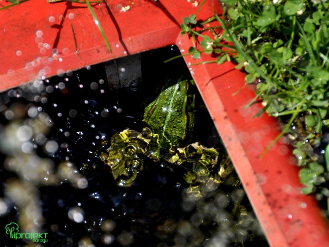 żaba pływająca