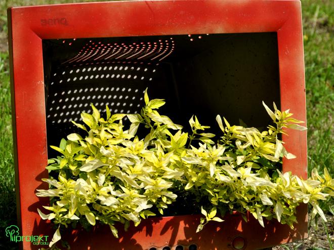 monitor czerwony z zielonym oregano