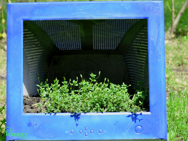 monitor niebieski z jeszcze niezakwitłym żółtym kwieciem