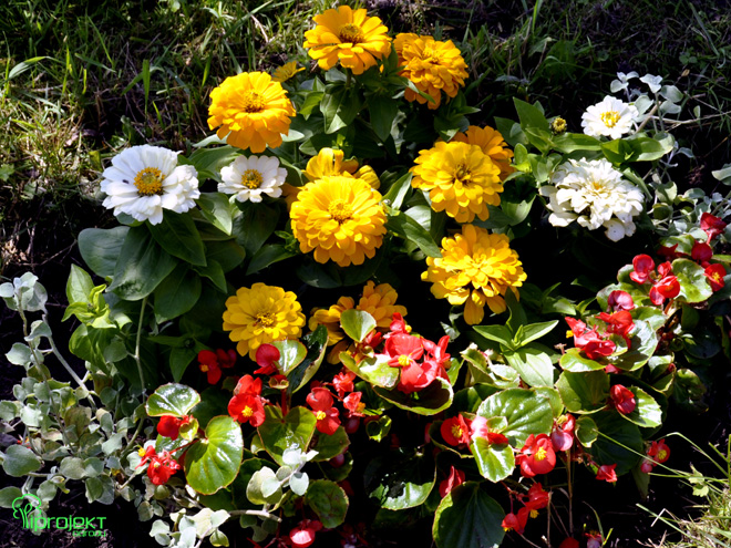 żółte i białe cynie z czerwonymi begoniami IPROJEKT